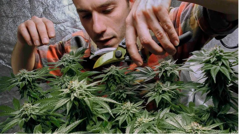 Buy Weed Edibles Online in USA